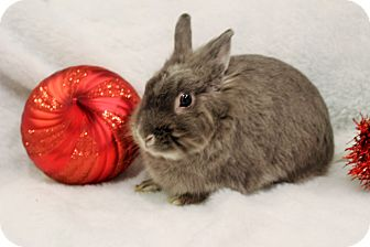 Lionhead Mix for adoption in Hillside, New Jersey - Jingles