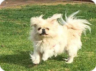 Pekingese Dog for adoption in SO CALIF, California - PRINCE BUG BUG