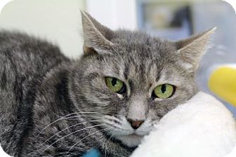 Domestic Shorthair Cat for adoption in Bellevue, Washington - Momma