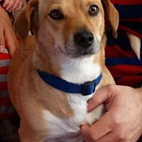 Dachshund Mix Dog for adoption in Fresno, California - Steve