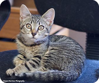 Domestic Shorthair Kitten for adoption in Homewood, Alabama - Jenny Wren