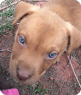 Australian Cattle Dog/American Pit Bull Terrier Mix Puppy for adoption in Englewood, Colorado - Mitch