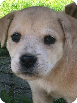 Australian Shepherd Mix Puppy for adoption in Hagerstown, Maryland - Shelby