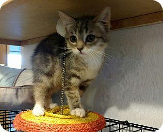 Manx Kitten for adoption in Hanna City, Illinois - Lulu