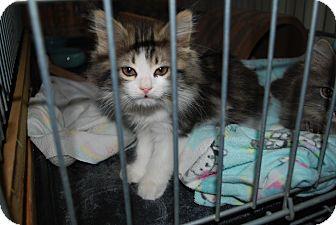 Domestic Longhair Kitten for adoption in Carlisle, Pennsylvania - TubbyPENDING