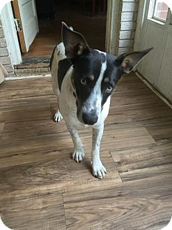 Australian Cattle Dog/Cattle Dog Mix Dog for adoption in Westport, Connecticut - Sunshine