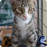 Adopt A Pet :: Ashton - Merrifield, VA