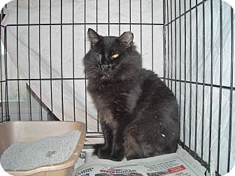 Domestic Longhair Cat for adoption in Riverside, Rhode Island - Ace