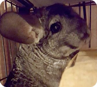 Chinchilla for adoption in Patchogue, New York - Clementine