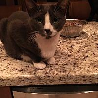 Adopt A Pet :: Tom - Lauderhill, FL