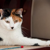 Calico Cat for adoption in Santa Rosa, California - Pompom