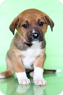 Pointer Mix Puppy for adoption in Waldorf, Maryland - Chrissy