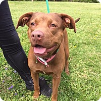 Pit Bull Terrier Mix Dog for adoption in Batavia, Ohio - Gracie