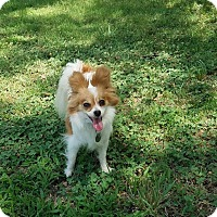 Adopt A Pet :: Trinket and Bauble - Shawnee Mission, KS