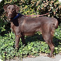 Australian Shepherd/Labrador Retriever Mix Dog for adoption in SUSSEX, New Jersey - Koda (70 lb) A Beauty!