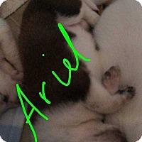 Adopt A Pet :: Ariel - Coopersburg, PA