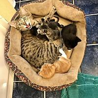 Adopt A Pet :: Leda - Troy, IL