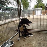 Adopt A Pet :: Boots - Clarksville, AR