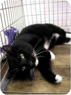 Domestic Shorthair Cat for adoption in Cranford, New Jersey - Sparky-ADOPTED!