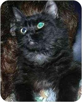 Domestic Longhair Cat for adoption in West Warwick, Rhode Island - Idy Biddy