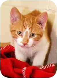 Domestic Shorthair Kitten for adoption in Walker, Michigan - Henry