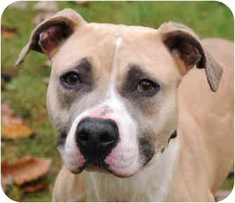 Pit Bull Terrier/Labrador Retriever Mix Dog for adoption in Chicago, Illinois - Sandy