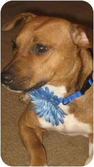 Boxer/Jack Russell Terrier Mix Dog for adoption in Hartford, Connecticut - Bella Blue