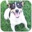 Photo 3 - Jack Russell Terrier Dog for adoption in Phoenix, Arizona - CRACKER JACK