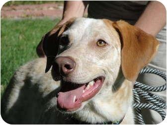 Labrador Retriever/Australian Cattle Dog Mix Dog for adoption in Wood Dale, Illinois - Frankie Lee