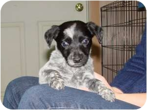 Labrador Retriever/Border Collie Mix Puppy for adoption in Marlton, New Jersey - Ash,Chip & Tiny Tim