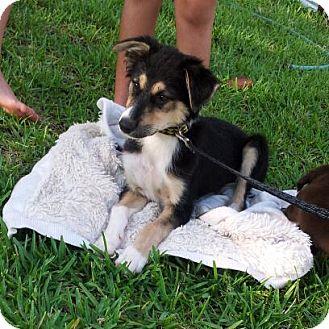 Collie/Husky Mix Puppy for adoption in Largo, Florida - JOURNEY