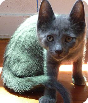 Domestic Shorthair Kitten for adoption in Mt. Prospect, Illinois - Graystone