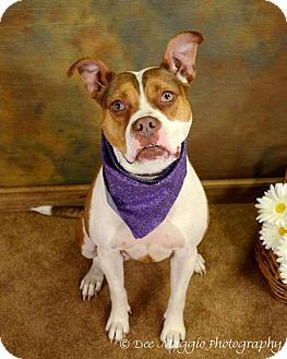Bulldog Mix Dog for adoption in Lapeer, Michigan - Bailey