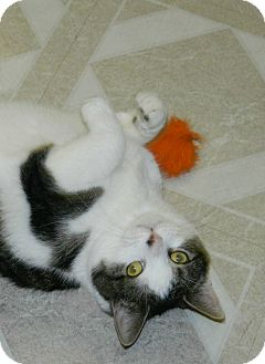 Domestic Shorthair Cat for adoption in Chesapeake, Virginia - Monica