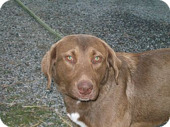 Labrador Retriever Mix Dog for adoption in Paris, Illinois - Tori