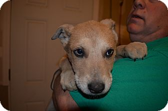 Shepherd (Unknown Type) Mix Puppy for adoption in Westminster, Colorado - Lilly