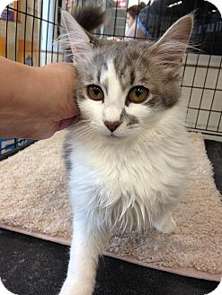 Domestic Shorthair Cat for adoption in Warren, Michigan - Tinkerbell