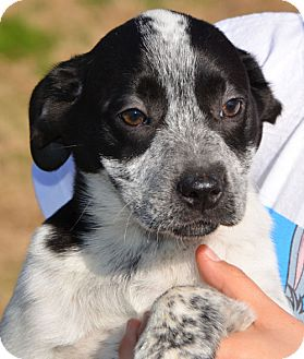 Labrador Retriever/Border Collie Mix Puppy for adoption in Plainfield, Connecticut - Speckles