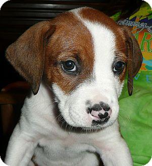 Hound (Unknown Type) Mix Puppy for adoption in Mt. Prospect, Illinois - Sandi