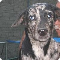 Adopt A Pet :: Pepper - latrobe, PA