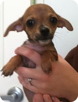 Chihuahua Mix Puppy for adoption in Westminster, California - Hannah