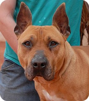 American Staffordshire Terrier Mix Dog for adoption in Las Vegas, Nevada - Bandit