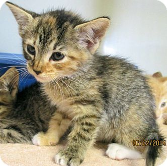 Domestic Shorthair Kitten for adoption in Red Bluff, California - CECE