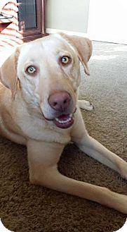 Labrador Retriever Dog for adoption in Phoenix, Arizona - Harley