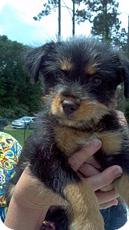Yorkie, Yorkshire Terrier/Terrier (Unknown Type, Small) Mix Puppy for adoption in Groton, Massachusetts - Julep