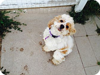 Cocker Spaniel Mix Dog for adoption in Traverse City, Michigan - Sully