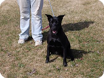 Labrador Retriever Mix Dog for adoption in North Judson, Indiana - Chloe