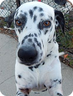 Dalmatian Dog for adoption in Gardena, California - Amigo