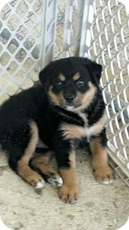 Rottweiler/Australian Shepherd Mix Puppy for adoption in Hammonton, New Jersey - carly