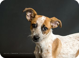 Dachshund/Australian Cattle Dog Mix Puppy for adoption in Naperville, Illinois - (Baby) April